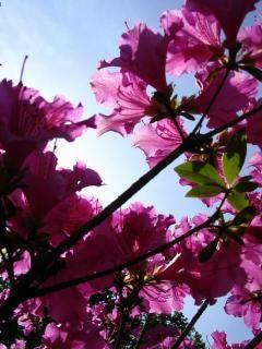 Roze bloesems bloesem
