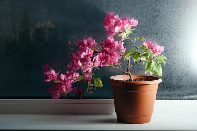 Roze bougainvillea die in een pot op de vensterbank groeit. misted glas.