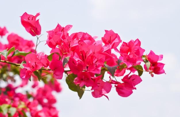 Roze bougainvillea glabra choisy bloem met bladeren mooie papieren bloem vintage in de tuin