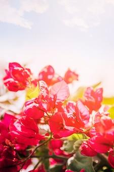 Roze bougainvilleabloemen tegen de blauwe hemel in zonlicht