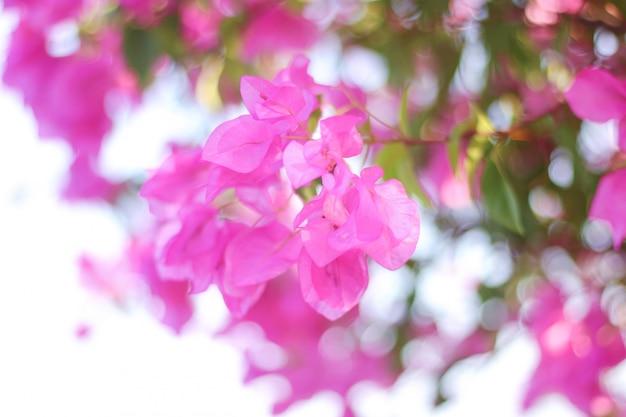 Roze bougainvilles