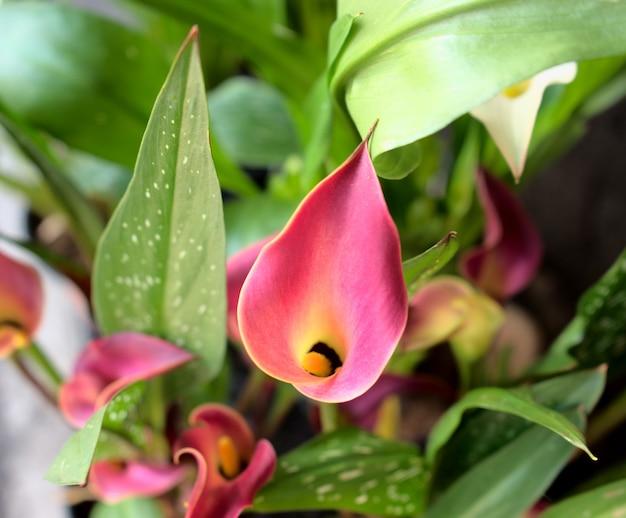 Roze calla lelie bloemen bloeien natuurlijke botanische plantentuin