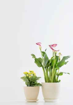 Roze calla lelie en gele kalanchoë in bloempot op witte achtergrond