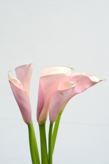Roze calla lelie op witte achtergrond
