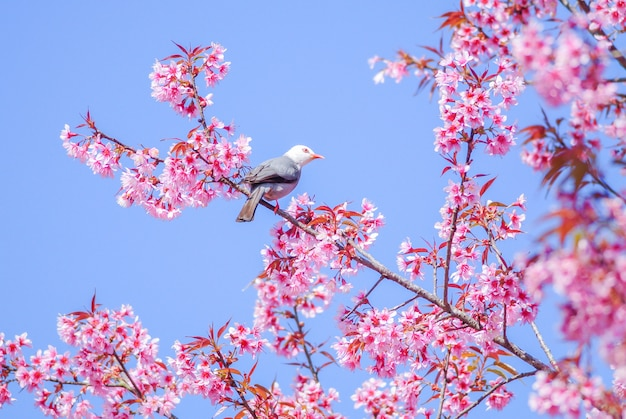 Roze cherry blosssom met bulbulvogel met witte kop