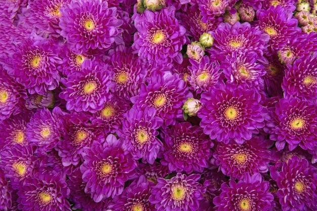 Roze chrysanten. achtergrond van prachtige bloemen.
