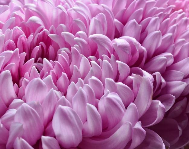 Roze chrysanten close-up. macro foto.