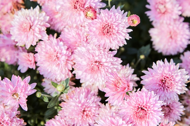 Roze chrysantenbloemen in de tuin