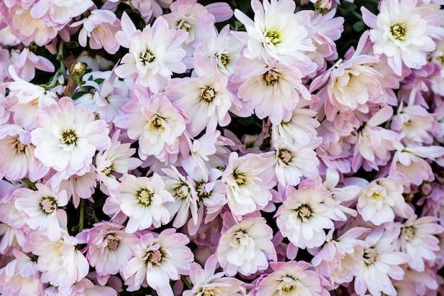 Roze chrysantenbloemen.