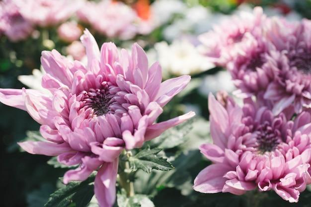 Roze chrysanthemumbloem in de tuin met onduidelijk beeldachtergrond