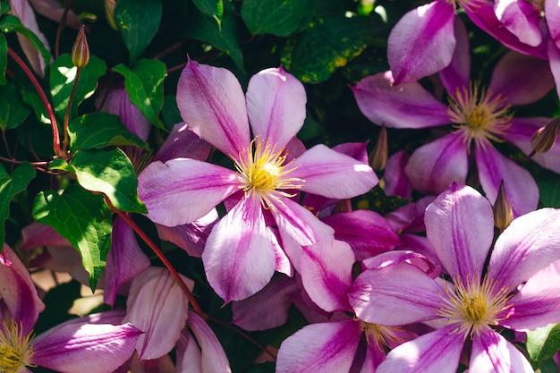 Roze clematissen bloeiende bloemen