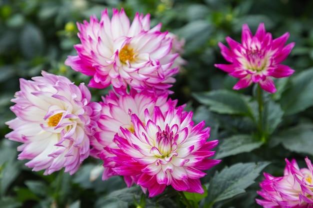 Roze dahlia bloem in de tuin op de lentedag