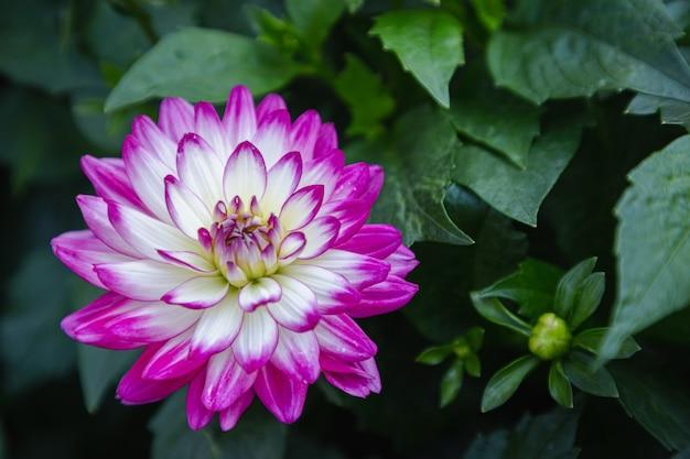 Roze dahlia bloem in de tuin