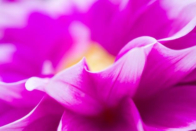 Roze dahlia bloemen close-up achtergrond