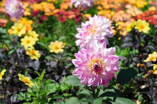Roze dahlia bloemen en mama bloemen natuurlijke zomer achtergrond