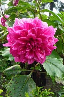 Roze dahliabloem in indonesië