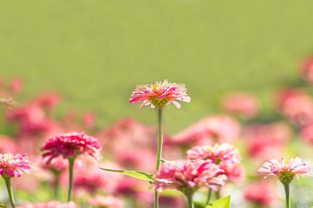Roze daisy gerberabloemen