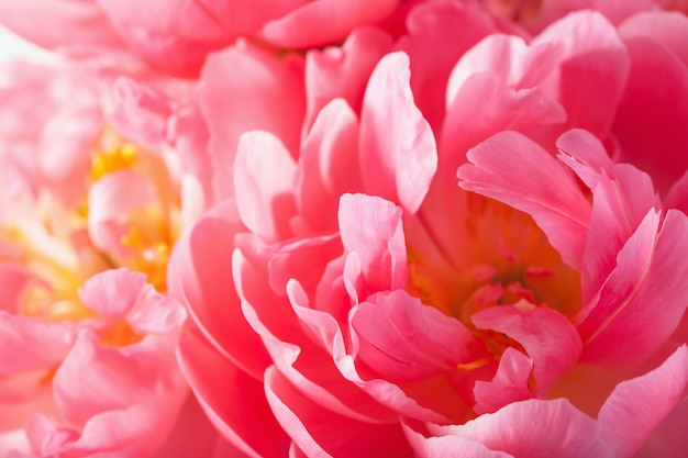 Roze de bloemblaadjes macroachtergrond van de pioenbloem