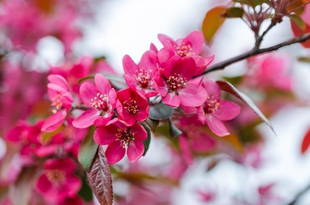 Roze decoratieve appelbomen. afbeelding voor briefkaartontwerp, kalender, boekomslag. detailopname. appelboom in bloei.