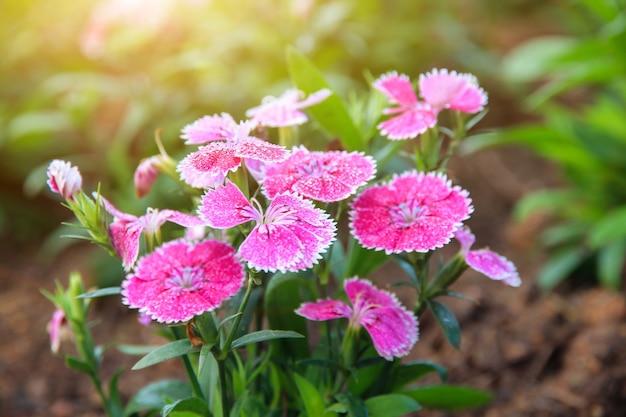 Roze dianthus bloem (dianthus chinensis) bloeien in de tuin, zoete flora william bloeiende bloemblaadjes roze bloemen achtergrond