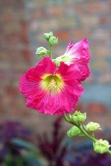 Roze dichte omhooggaand van de malvebloem