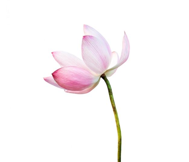 Roze die lotusbloembloem op witte achtergrond wordt geïsoleerd. bestand bevat met uitknippad.