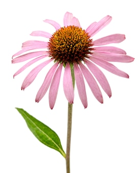 Roze echinacea purpurea bloemen