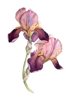Roze en bourgondische aquarel iris
