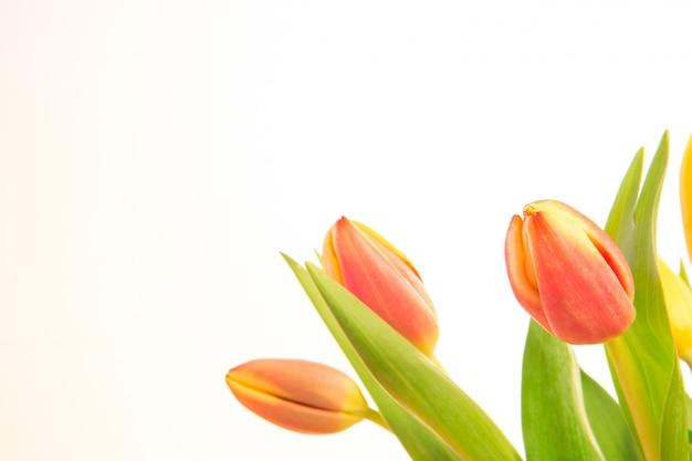 Roze en gele getinte tulpen met exemplaarruimte