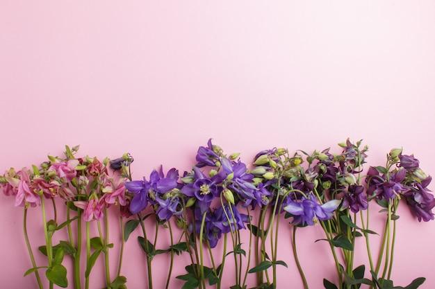 Roze en paarse akeleibloemen op pastel roze achtergrond.