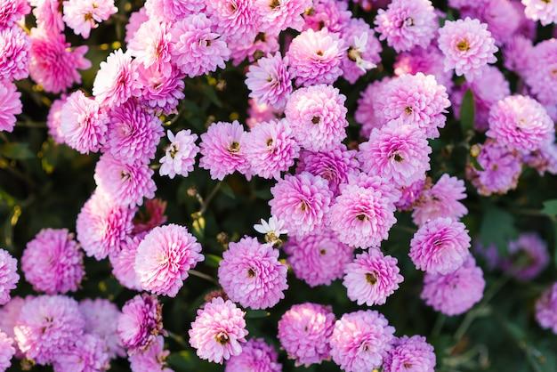 Roze en paarse herfstchrysanten bloeien in de tuin