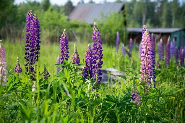 Roze en paarse lupine in bloei, zomerbloemen op het platteland