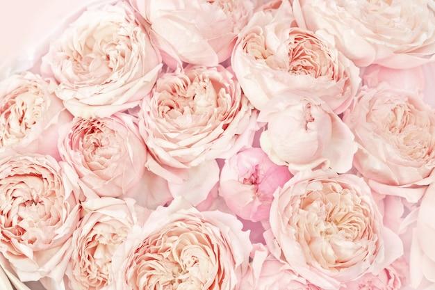 Roze en perzik peony rozen bloemen close-up. natuurlijke bloemrijke achtergrond van bloemblaadjes