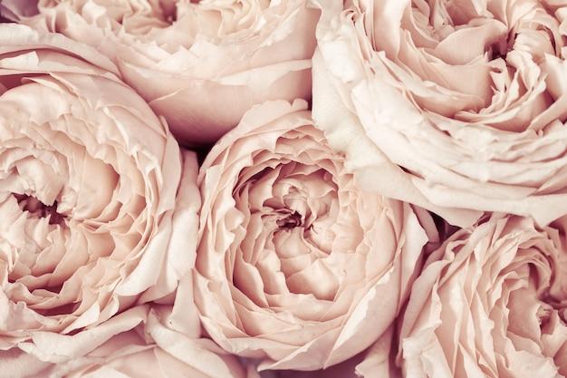 Roze en perzik peony rozen bloemen close-up natuurlijke bloemrijke achtergrond van bloemblaadjes