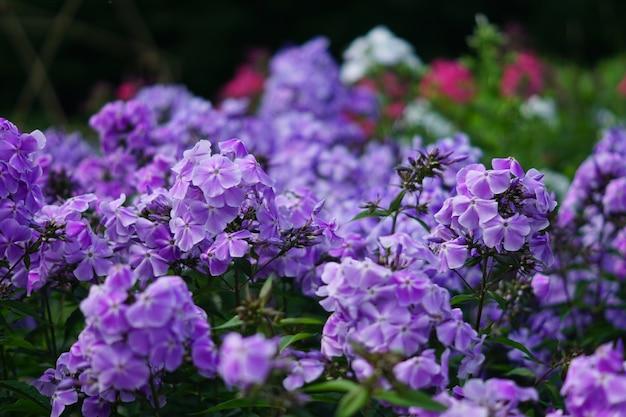 Roze en purpere tuinflox die dicht omhoog bloeien