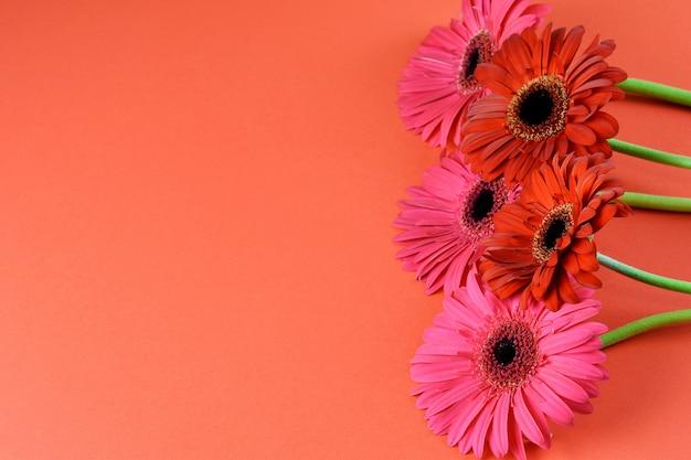 Roze en rode gerbera's op de rode close-up als achtergrond. plat leggen, ruimte kopiëren. mooi wenskaartontwerp.