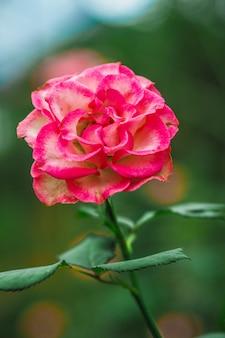 Roze en rode rozen in de tuin.