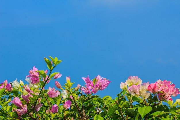 Roze en witte bloeiende bougainvilleas tegen de blauwe hemel in de zomer