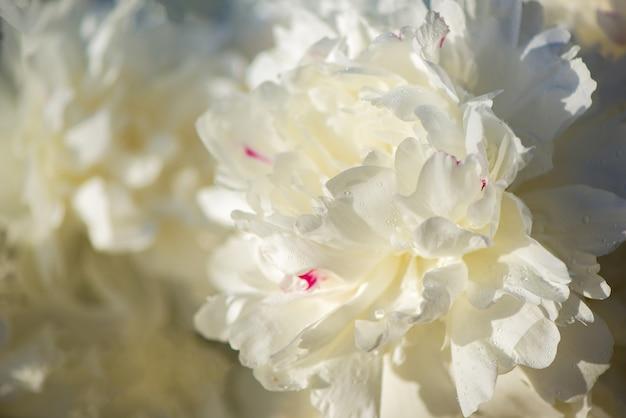 Roze en witte bloemen pioenrozen bloeien op het oppervlak roze pioenrozen