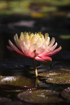 Roze en witte lotusbloem op water