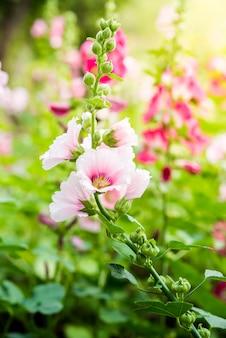 Roze en witte stokroosbloem