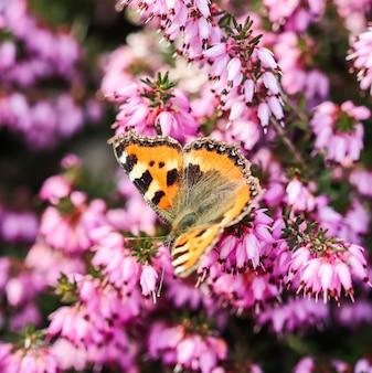 Roze erica carnea bloeit winterhit en een vlinder in een lentetuin