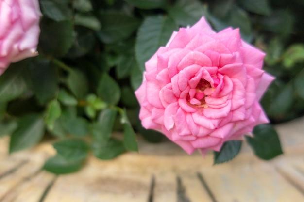 Roze fee rozen zijn in de tuin.