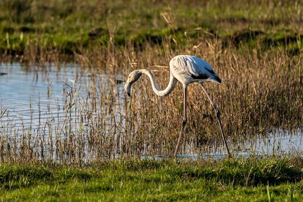 Roze flamingo bij zonsopgang in het natuurpark van de moerassen van ampurdan.