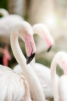 Roze flamingo-close-up, het heeft een prachtige kleur van veren. grotere flamingo, phoenicopterus roseus