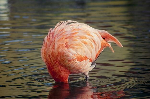 Roze flamingo dompelt zijn kop in het water en veroorzaakt rimpelingen