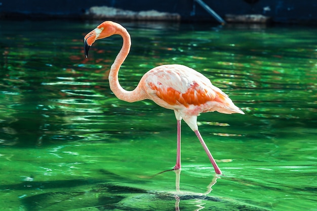Roze flamingo in dominicaanse republiek