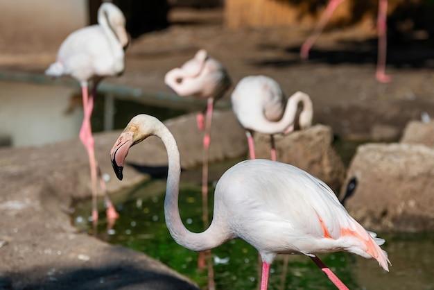 Roze flamingo's in de dierentuin