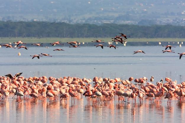 Roze flamingo's komen samen in het nakuru-meer. kenia, afrika
