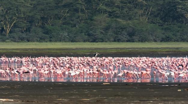 Roze flamingo's komen samen in het nakuru-meer. kenia, eastrest africa (rev.2)